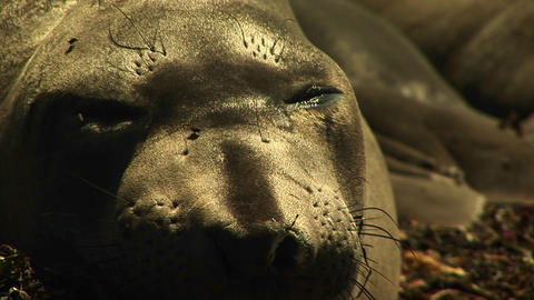 Close-up Of A Sleeping Harbor Seal's Face As Flies Crawl Across It stock footage