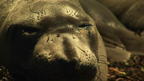 Close-up of a sleeping harbor seal's face as flies crawl... Stock Video Footage