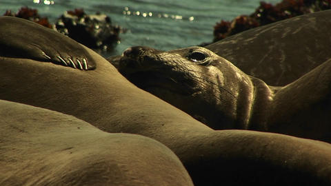 Close-up of harbor seals basking close together on a... Stock Video Footage