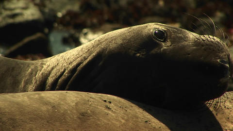 Close-up of a harbor seal's head propped against another... Stock Video Footage