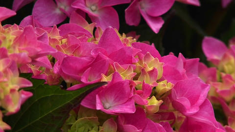 Close-up of pink wildflowers blooming in a California forest Stock Video Footage