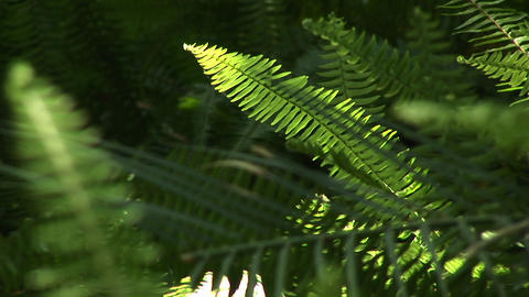 Selective-focus shot of ferns swaying in the breeze Footage
