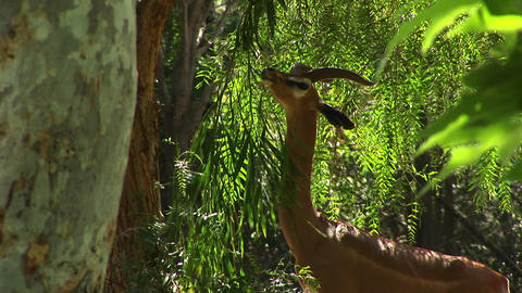 Medium-shot of a gazelle eating the leaves of a tree Stock Video Footage