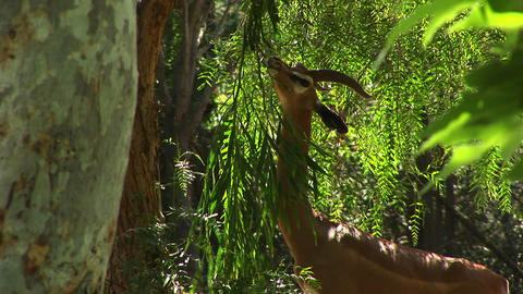 Medium-shot of a gazelle eating the leaves of a tree Footage