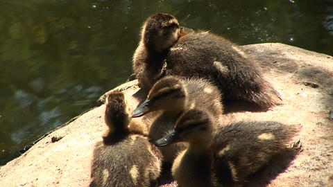 Close-up of four ducklings sitting on a rock near the water calling out for their mother Footage