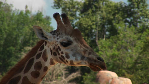 Close-up headshot of a giraffe chewing Stock Video Footage