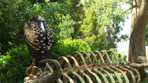 Medium-shot of a vulture resting on the skeleton of a... Stock Video Footage