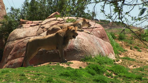 Medium-shot of a male and female lion looking out over... Stock Video Footage