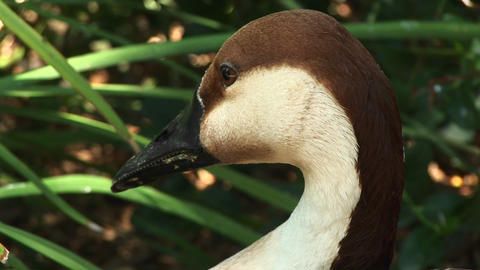 Close-up headshot of a an African goose sitting among the... Stock Video Footage