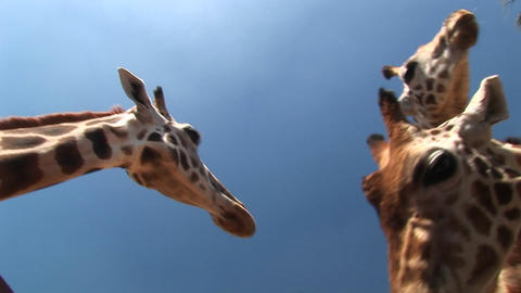 Worm's-eye shot of three giraffes chewing Stock Video Footage