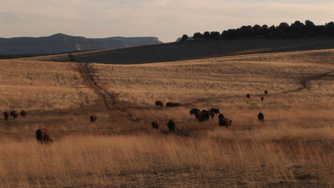 Medium-shot of buffalo migrating across a grassy plain Footage