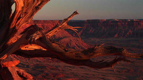 Medium-shot of a dead tree stump at Canyonlands National Park Footage