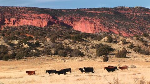 A herd of cows run across a Utah desert landscape Stock Video Footage