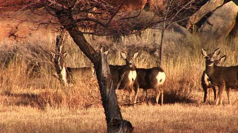 Following-shot of a herd of deer run across a road in Utah Stock Video Footage