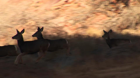 Following-shot of a herd of deer run across a road in Utah Stock Video Footage
