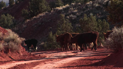 Zoom-in to a herd of cows walking down a dirt road in Utah Stock Video Footage
