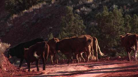 Zoom-in to a herd of cows walking down a dirt road in Utah Footage