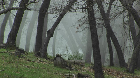 Medium wide shot of California oak trees shrouded in... Stock Video Footage