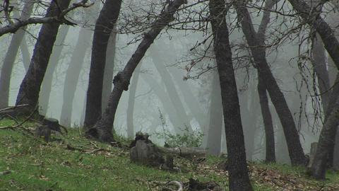 Medium wide shot of California oak trees shrouded in... Stock Video Footage