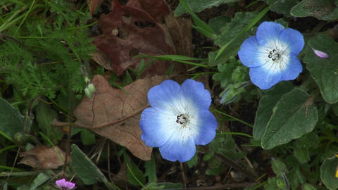 Close-up of beautiful blue flowers blooming on a forest floor Footage