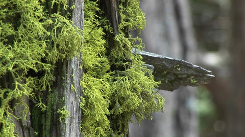 Close-up of moss growing on the bark of a pine tree Footage
