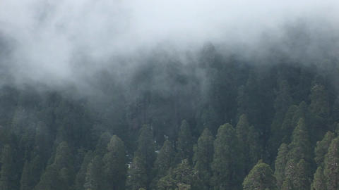 Birds-eye of a forest of pine trees gently shrouded by a... Stock Video Footage