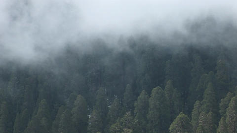 Birds-eye of a forest of pine trees gently shrouded by a slowly moving fog Footage