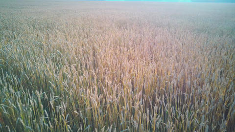 Aerial video wheat field at sunset on warm summer sunny day Live Action