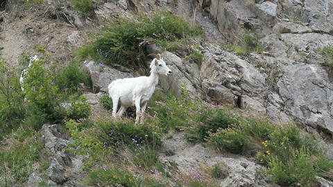 Dall Sheep female on mountain P HD 1559 Footage