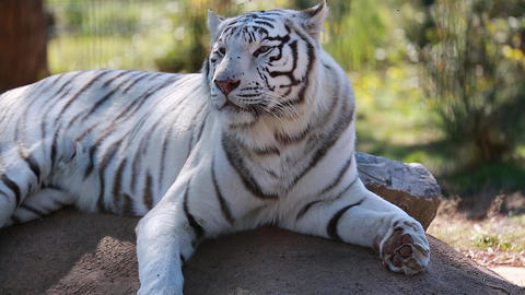White Tiger Lying Down Footage
