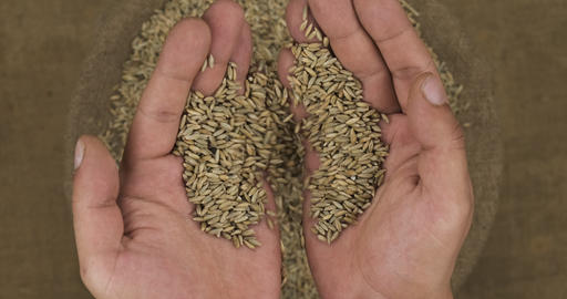 Farmer holds in his palms a grain of rye, falling grain into a bag Live Action