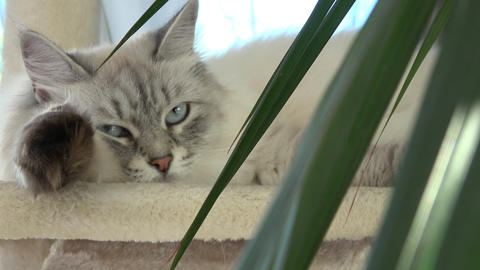 Cat is falling asleep. (Felis catus) Live Action