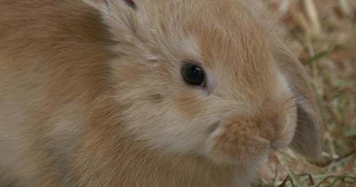 Baby Rabbit Brown Close Up Footage