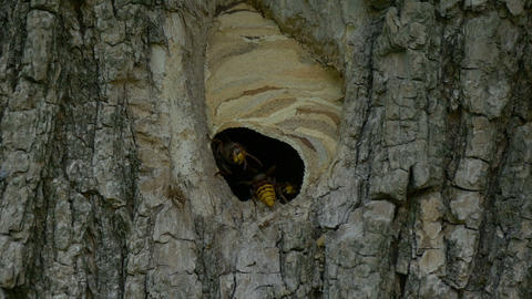 Hornet Fly In Nest Slow Motion Footage