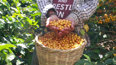 Hands full of yellow fresh mature coffee cherries and a wicker full of berries Live Action