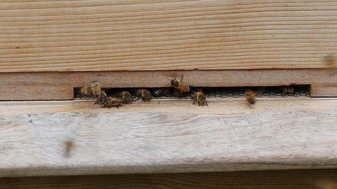 Bees flying in and out of a wooden beehive in a UK garden Live Action
