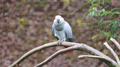 African Grey Parrot Perched on a Tree Branch Footage