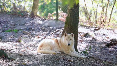 Arctic Wolf Footage
