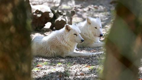 White Arctic Wolf Couple Closeup Footage