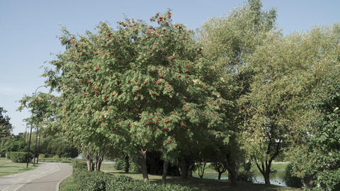 Mountain ash with ripe fruits Live Action
