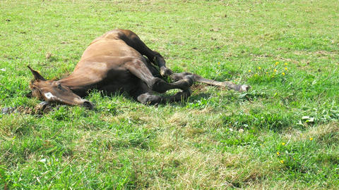 Brown foal laying down. Foal moving with legs withing dreaming. It is a meaningful sight to behold Acción en vivo