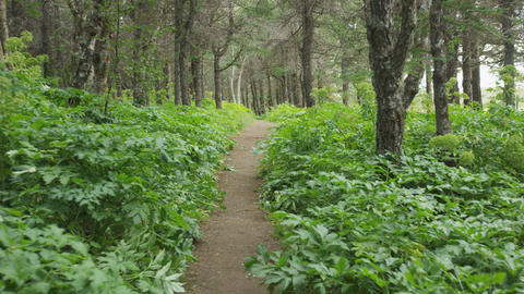 Forest path in pine wood forest in summer Live Action