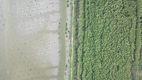 Aerial look down dead palm trees and mangrove trees Live Action