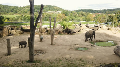 Elephants family with little baby and mother in zoo park captivity,mammal animal Live Action