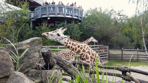 Cute giraffes eating leaves in a zoo park with group of visitors people,species Live Action