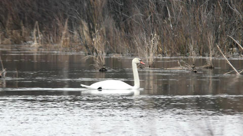 Wild swan swims in the frame. Russia Footage