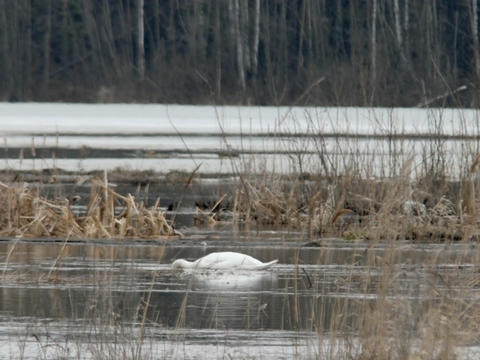 White wild swan on the lake in the spring. Russia Footage