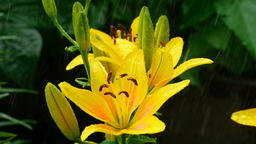 Yellow Lily buds and petals under rain Footage
