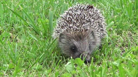 Cute hedgehog taking a stroll Live Action