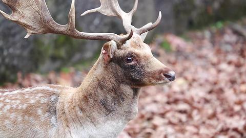 Male Fallow Deer Footage